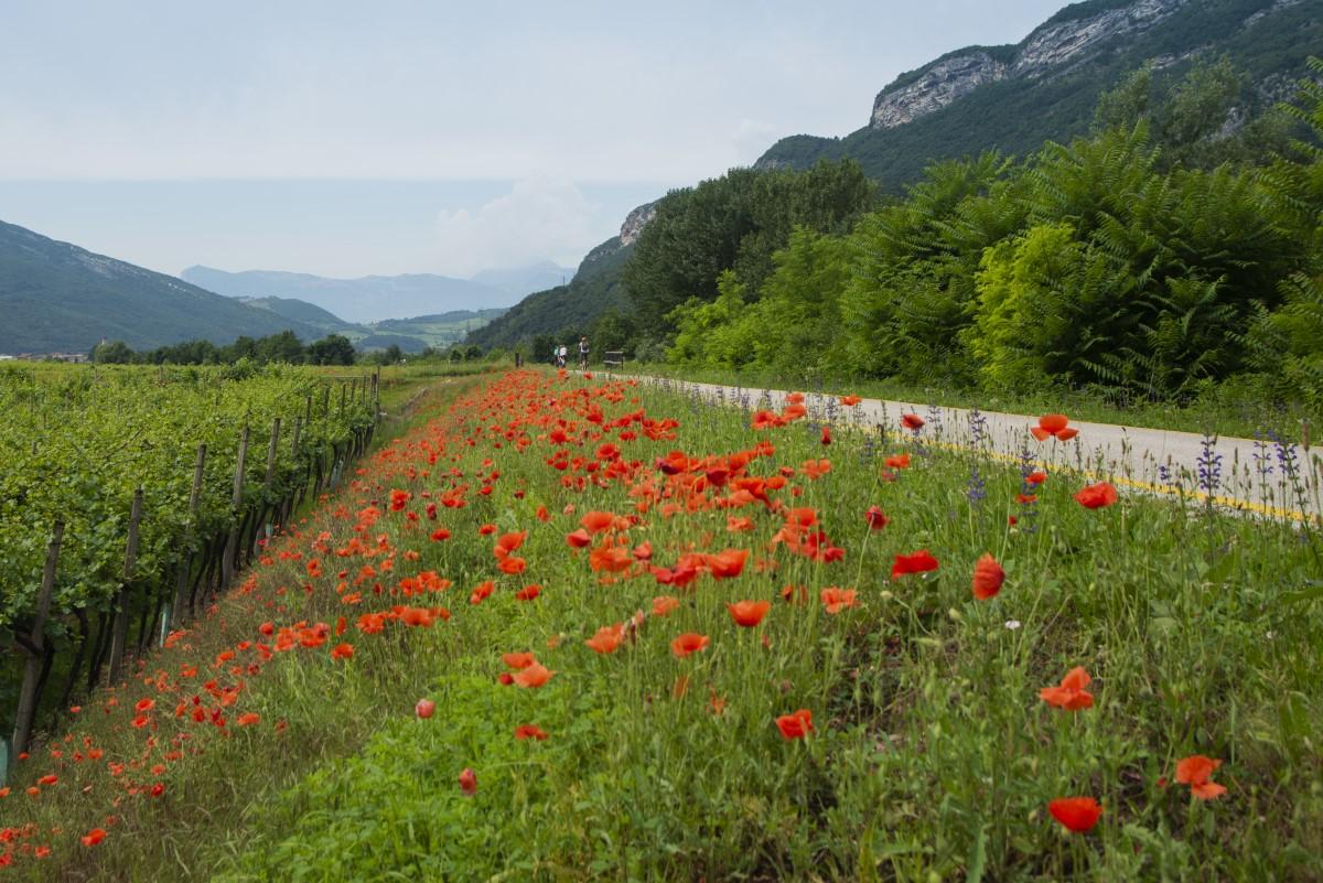 Klaprozen langs de Adige