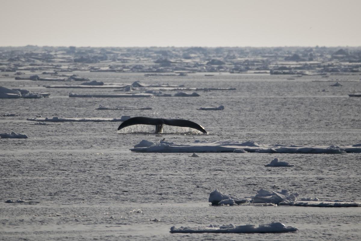 staart Groenlandse walvis