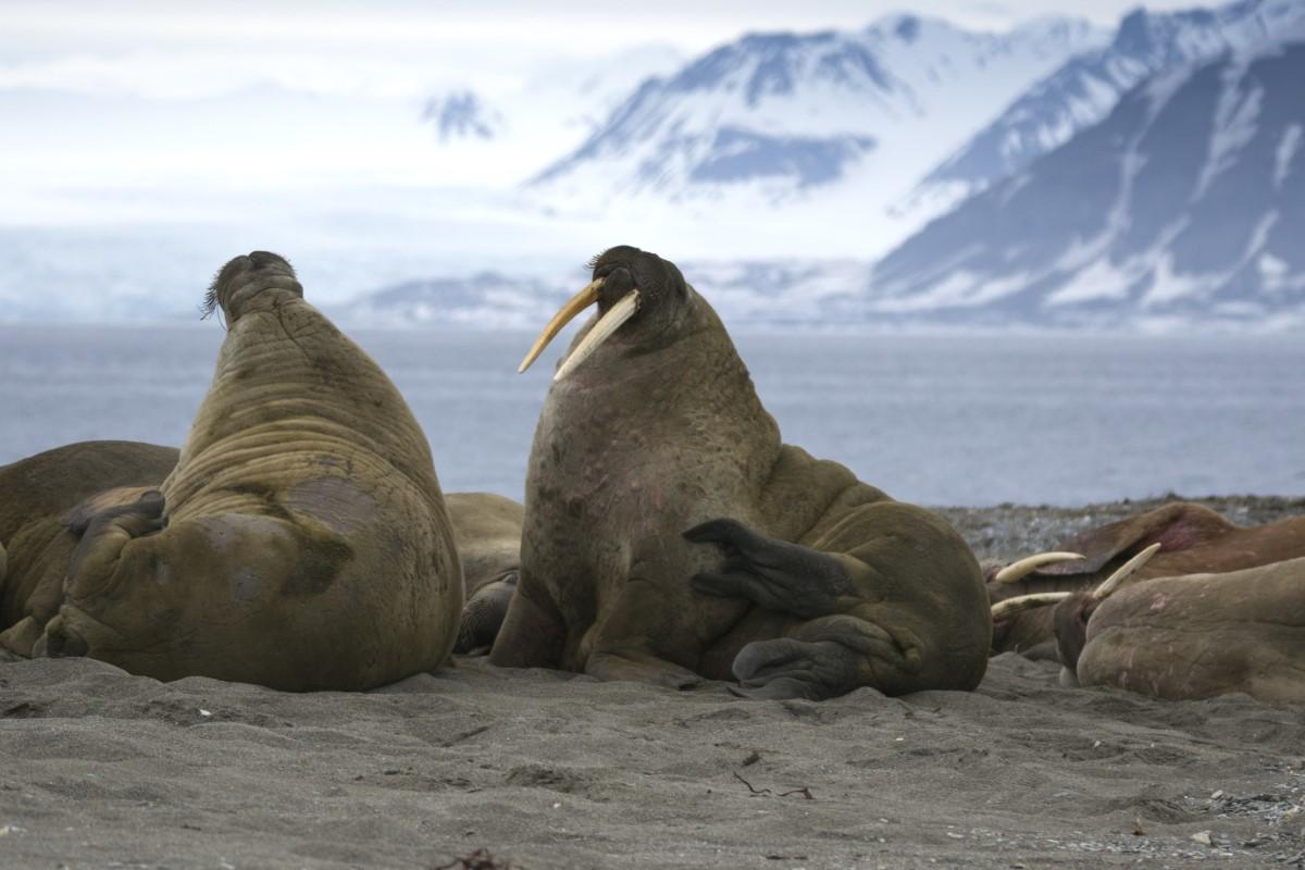 walrussen