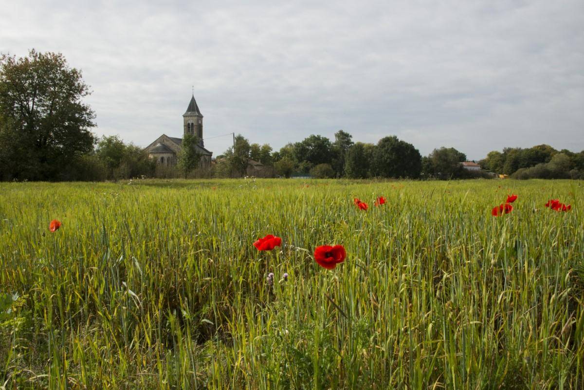 Graanveld met korenbloemen