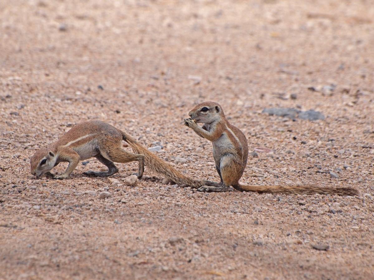 Grond eekhoorns