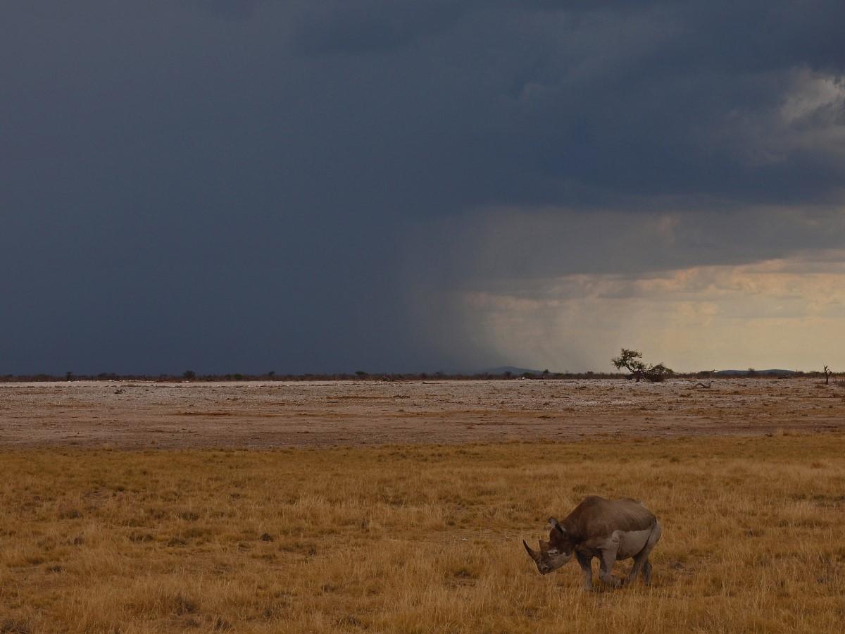 Neushoorn op de vlakte