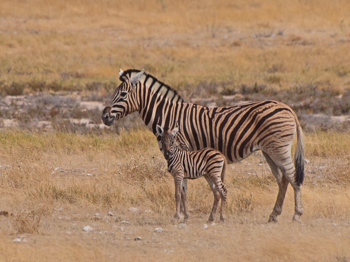 Zebra met kalf