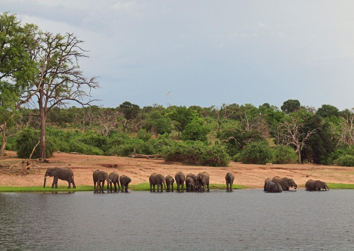 Olifanten aan de Chobe rivier