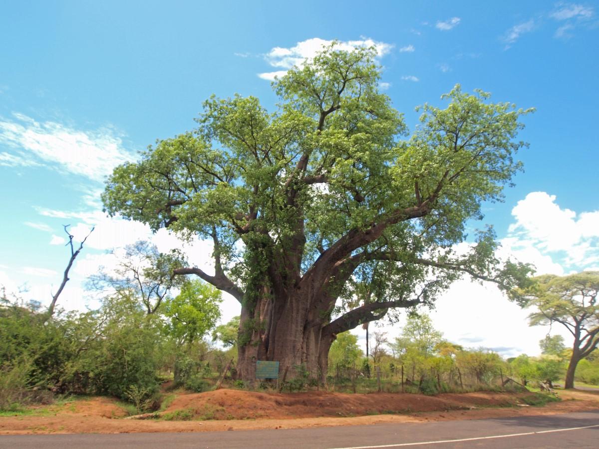 De grote boom Baobab