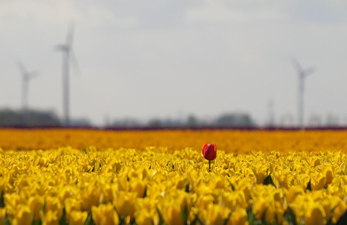 Tulpenveld NoordOost-polder
