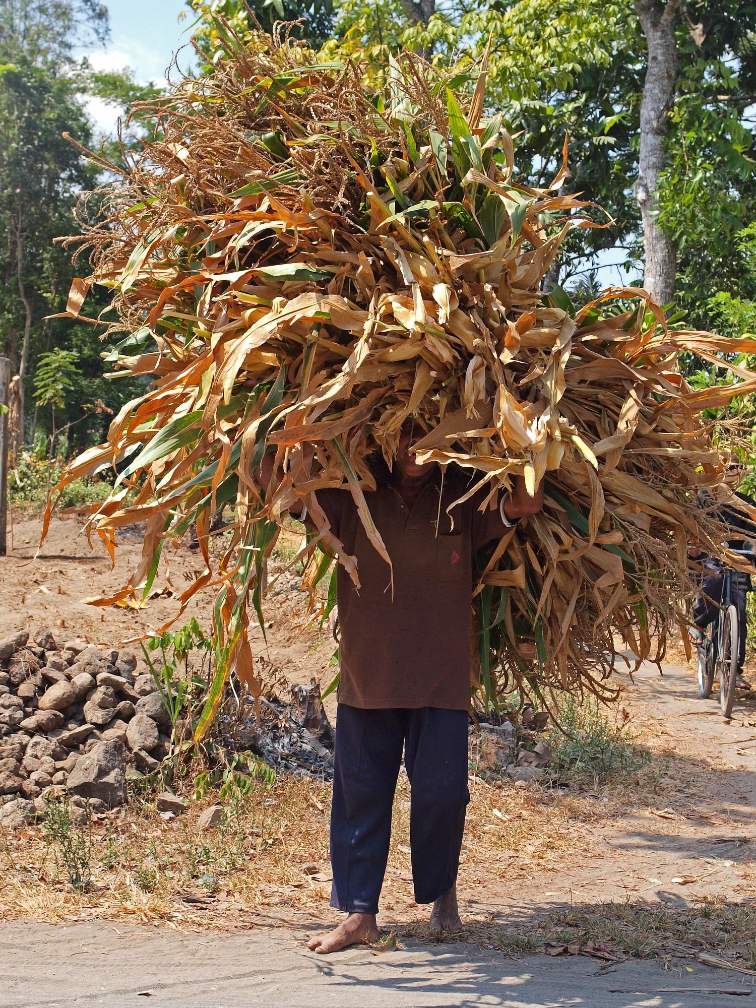 Mais wordt geoogst