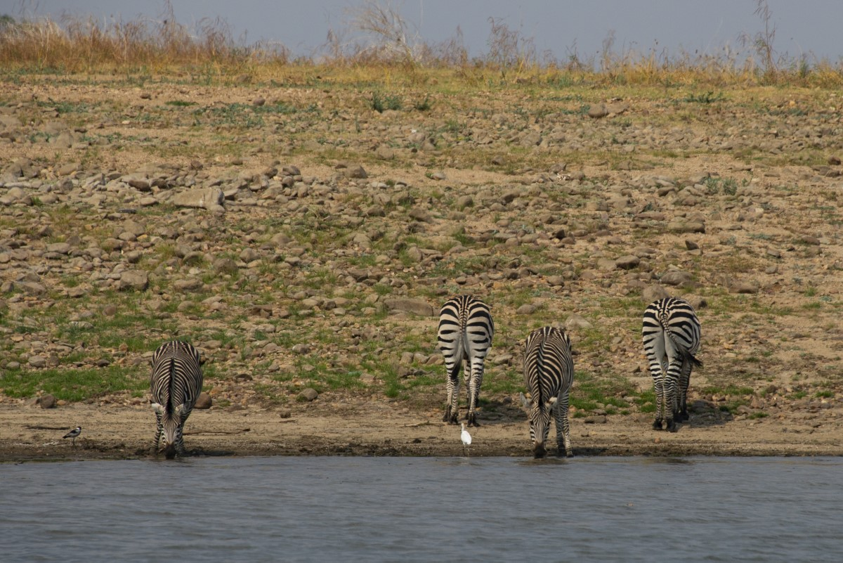 4 zebra s