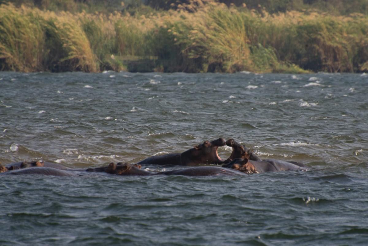nijlpaarden bekvechten