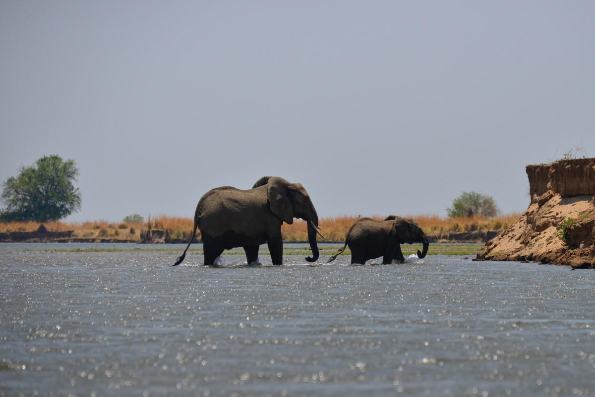 olifant met jong steekt over