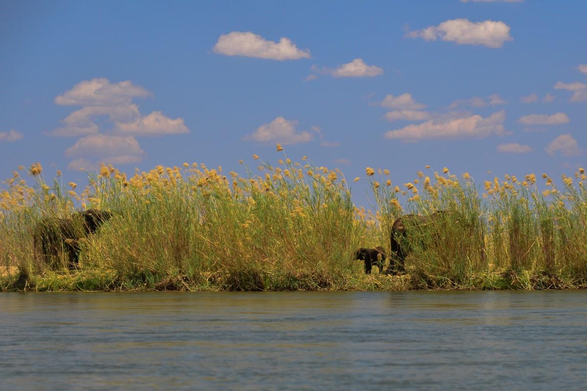 Olifanten in het riet