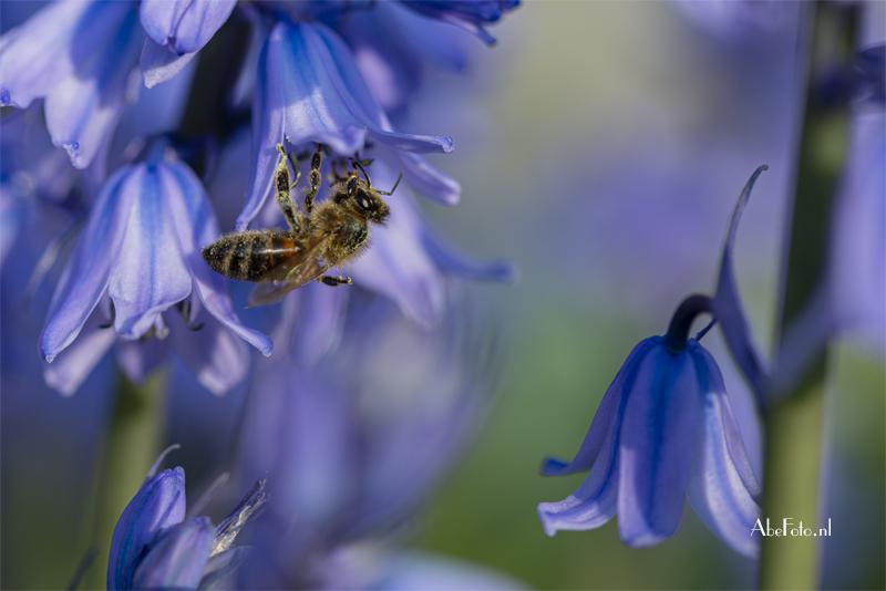 Spaanse hyacint met honigbij
