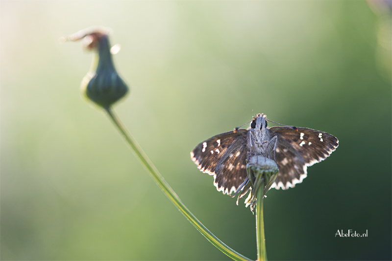 Vlinder in tegenlicht