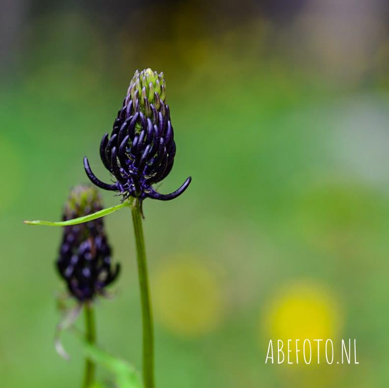Zwart-blauwe rapunzel