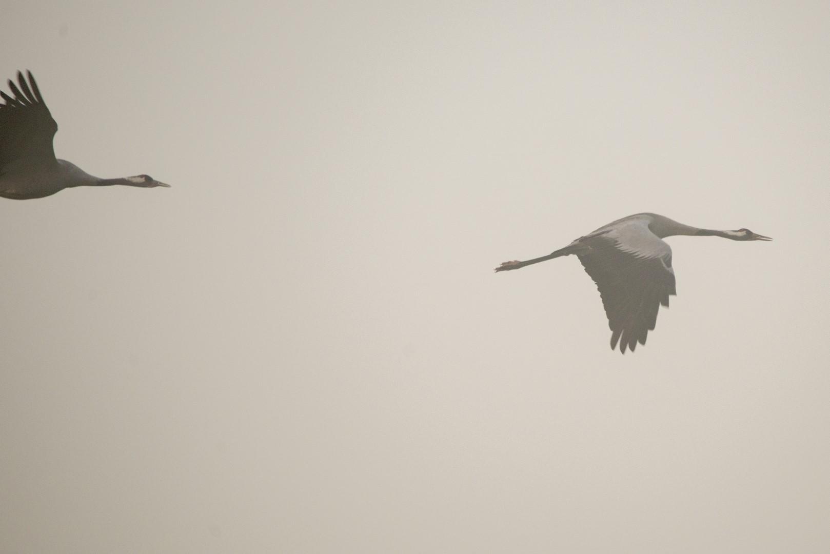2 kraanvogels
