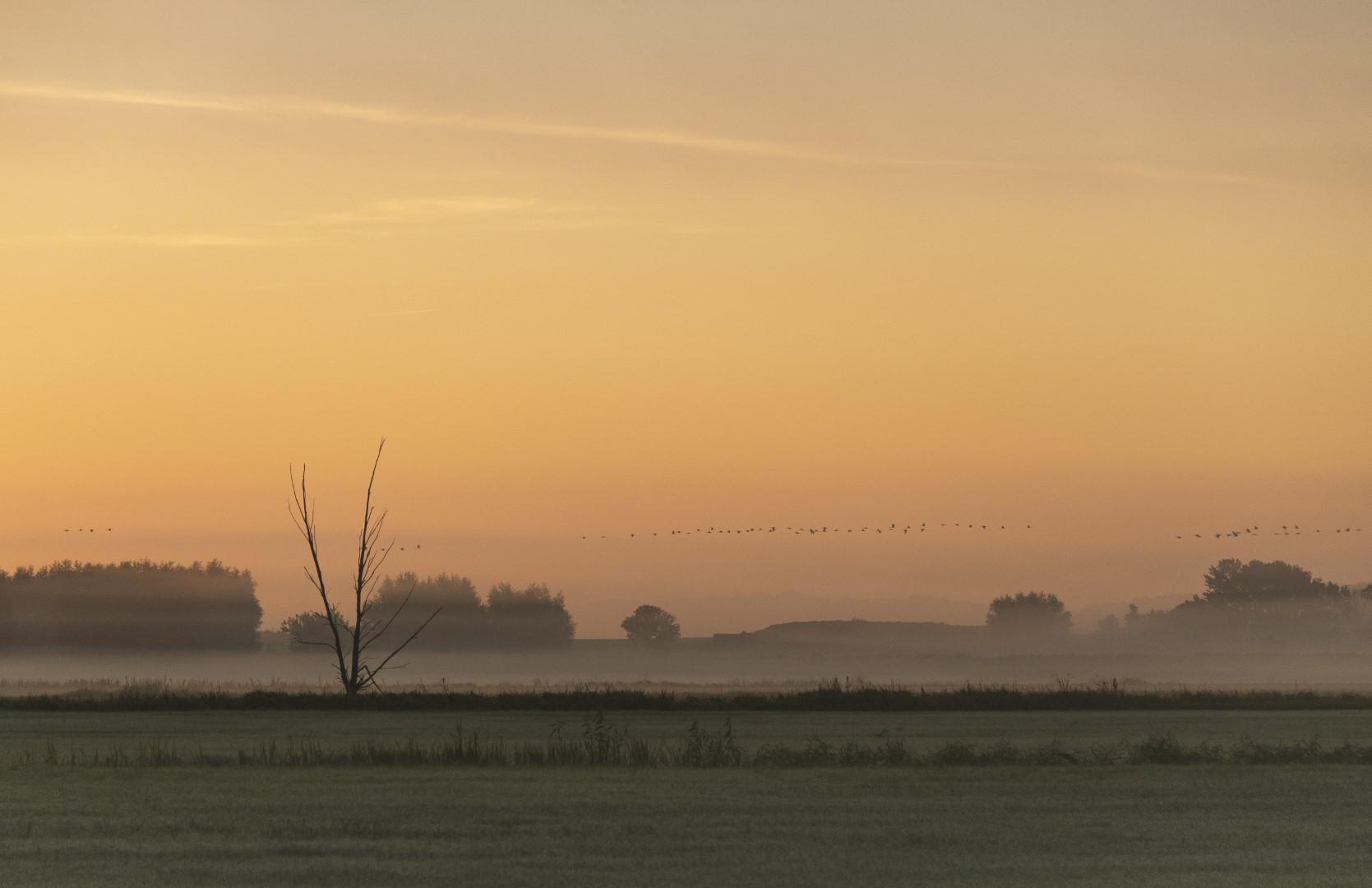 kraanvogels in ochtendlicht